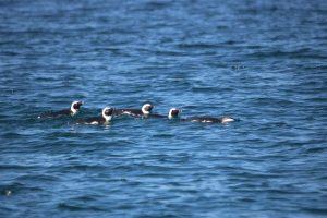 Cape Penguins at sea